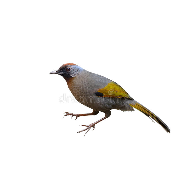 Laughingthrush Argento-eared, uccello e riscalda, alimentando l'uccello fotografie stock libere da diritti