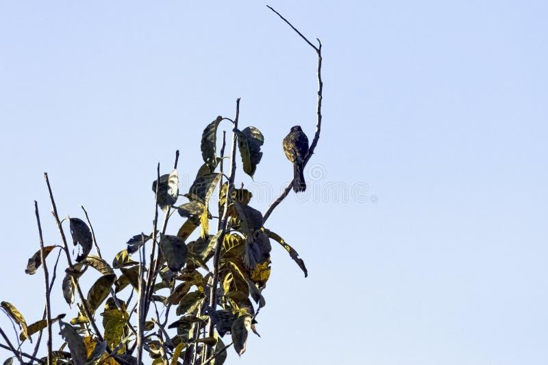 Laughingthrush di Palani, anche conosciuto come il laughingthrush del Kerala in Jim Corbett National Park, l'India fotografia stock libera da diritti