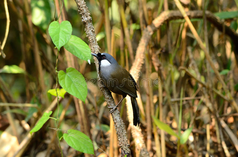laughingthrush Nero-throated fotografia stock
