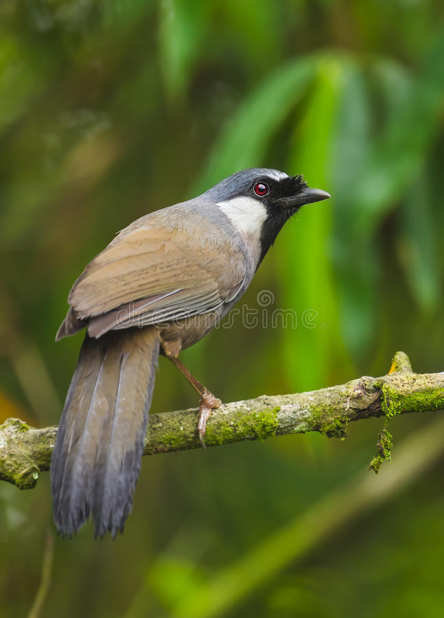 laughingthrush Nero-throated fotografia stock libera da diritti