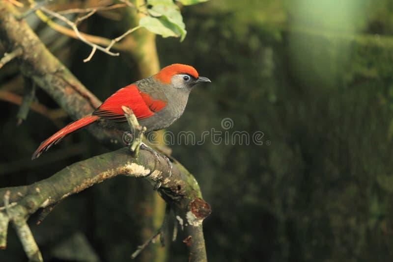 laughingthrush Rosso-munito fotografia stock