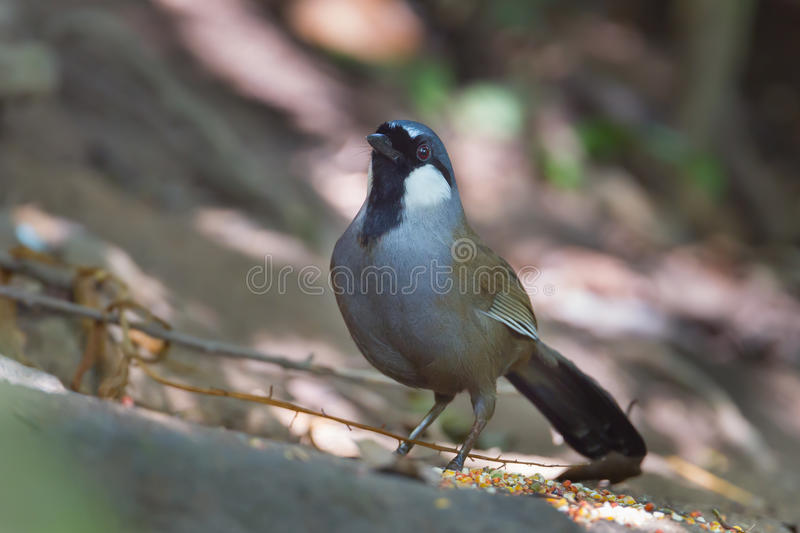 Laughingthrush throated nero fotografia stock