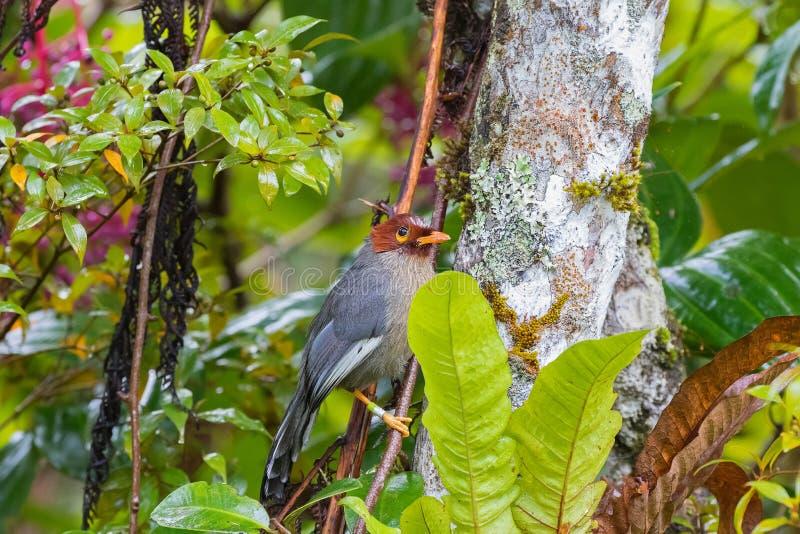 Laughingthrush-vogel kastanje-met een kap met gele oogring, grijs p stock foto