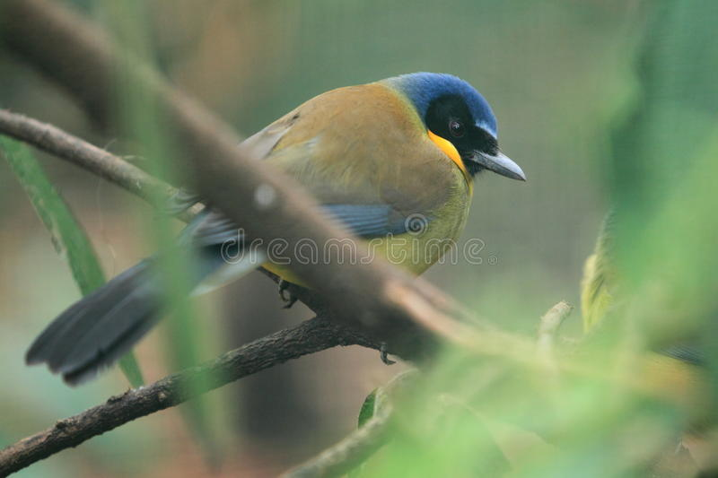 laughingthush Jaune-throated photo libre de droits