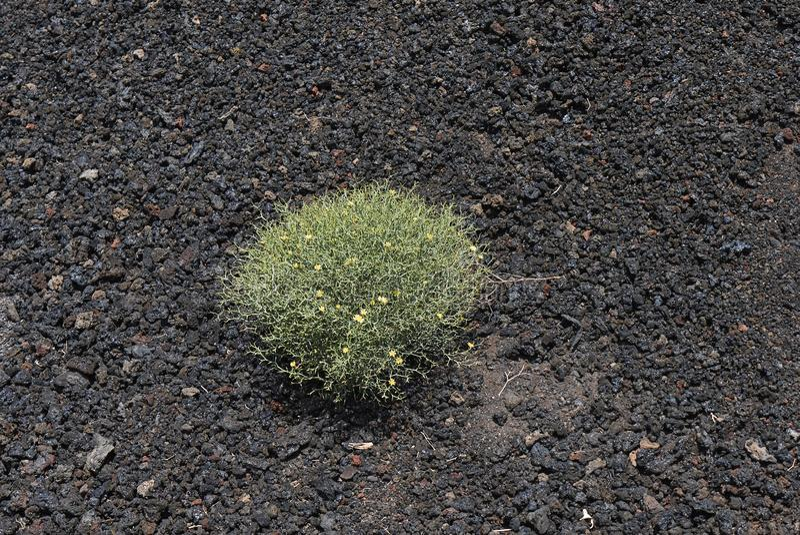 Launaea arborescens plant royalty free stock photo