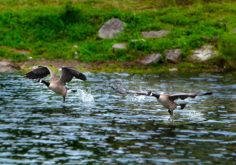 Launching Geese royalty free stock images