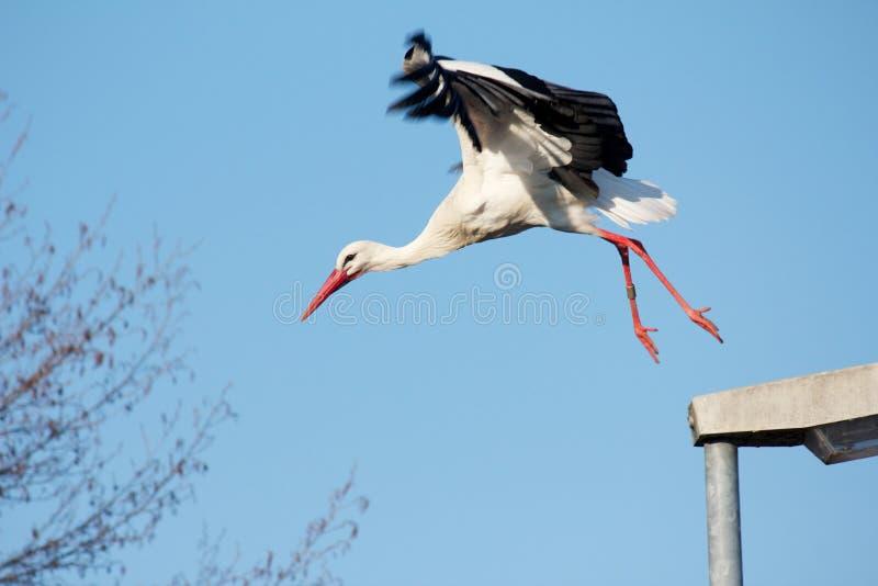 Launching stork. Stork flying away from a streelamp stock photo
