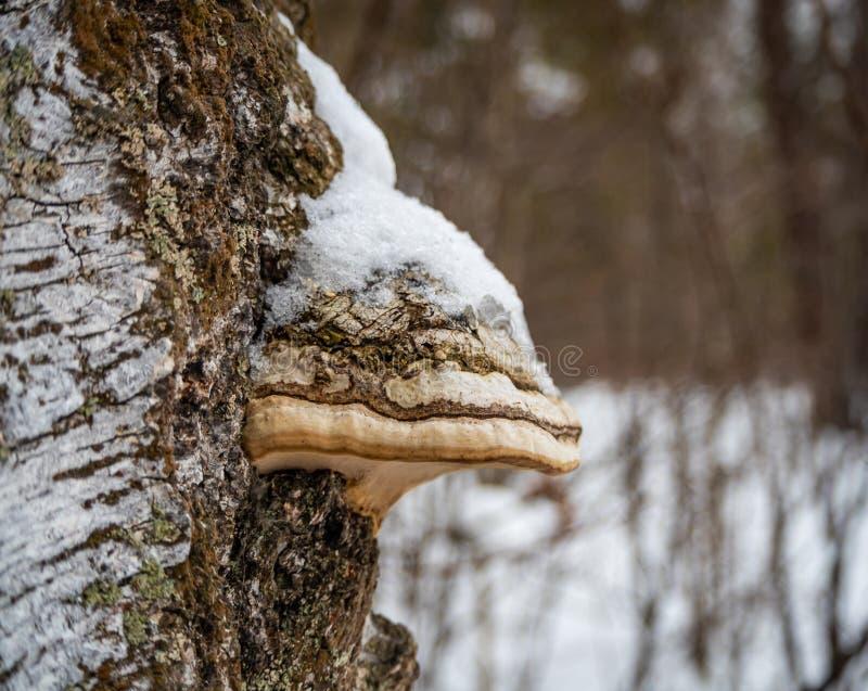 Launenhafte Ansichten eines Suppengrünstammes von einem schneebedeckten Winterwald in Russland stockfotos