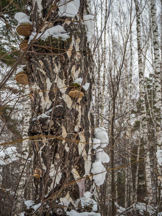 Launenhafte Ansichten eines Suppengrünstammes von einem schneebedeckten Winterwald in Russland lizenzfreie stockfotos