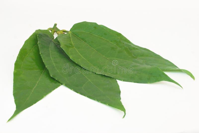 Launifolia Linn de Thubergia photographie stock libre de droits