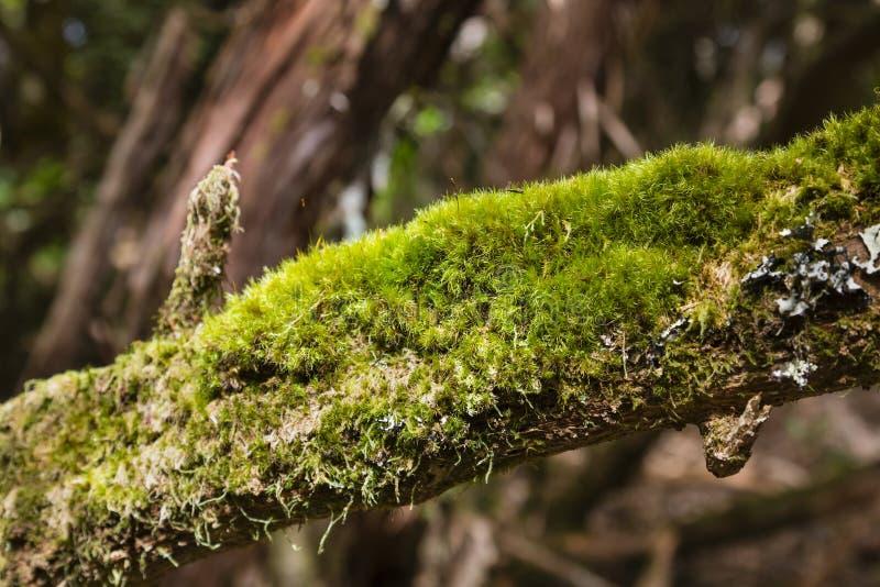 Laural Forest Moss in Tenerife, Spagna immagine stock libera da diritti
