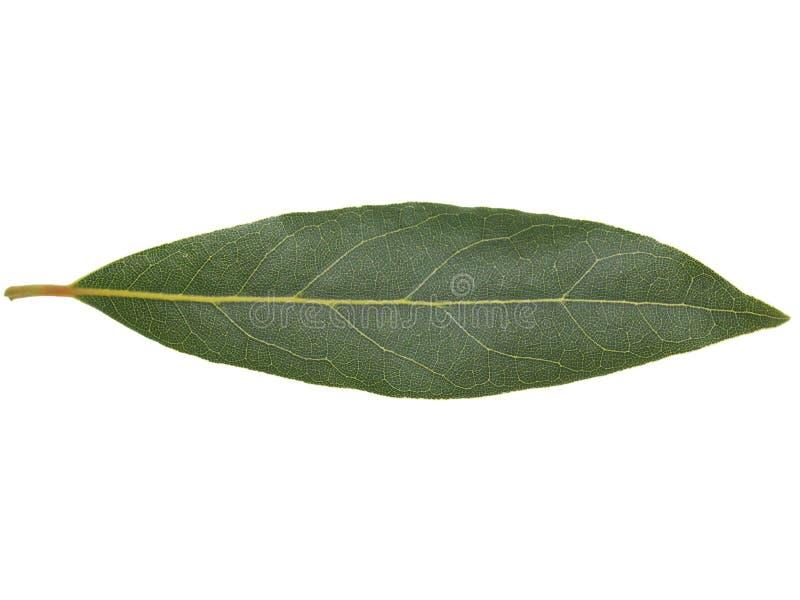 Laurel Bay tree leaf isolated stock image