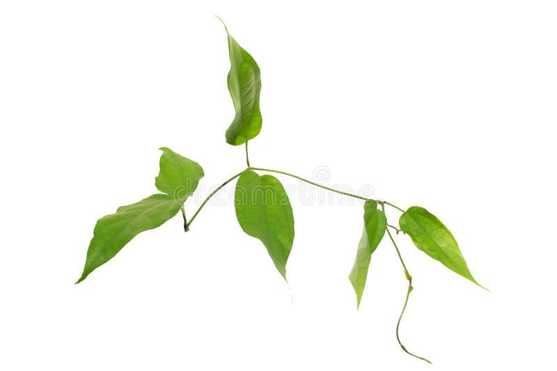Laurel clockvine, Blue trumphet vine leaves,Thunbergia laurifolia Lindl. stock image