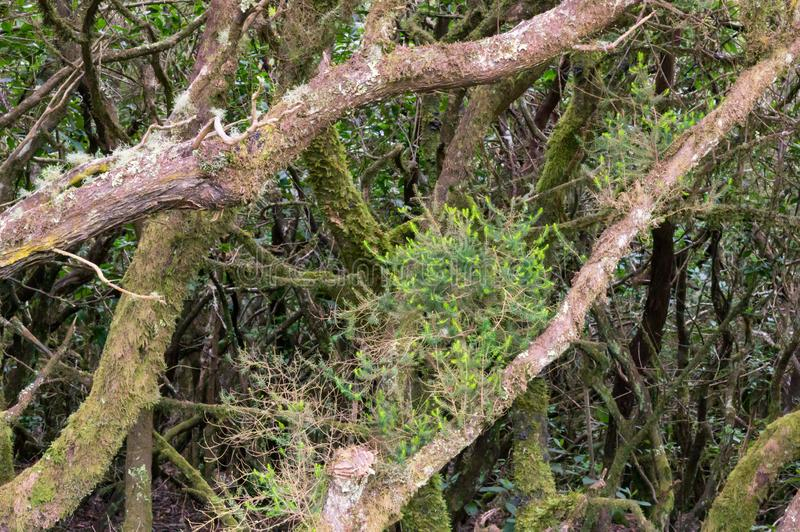 Laurel forest on La Gomera. On La Gomera are probably the most beautiful laurel forests of the Canary Islands stock photography