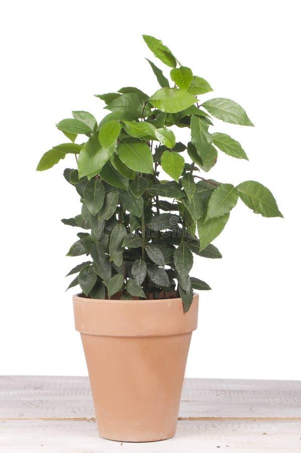 Free Laurel In An Earthen Pot Stock Images - 51854754