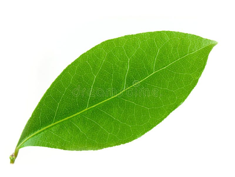 Laurel leaf vector illustration