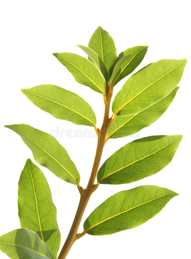 Laurel leaves stock images