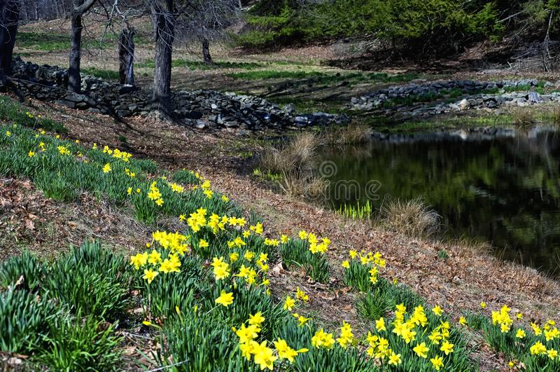 Laurel Ridge Daffodils Northfield Connecticut fotografering för bildbyråer