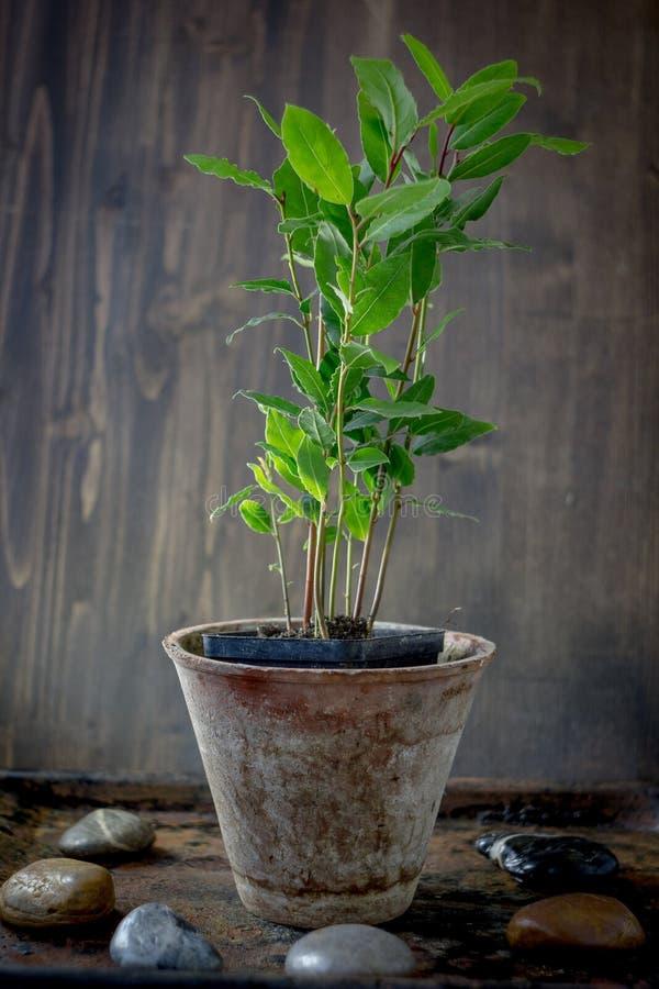 Laurel tree - Laurus nobilis as a house plant. stock photo