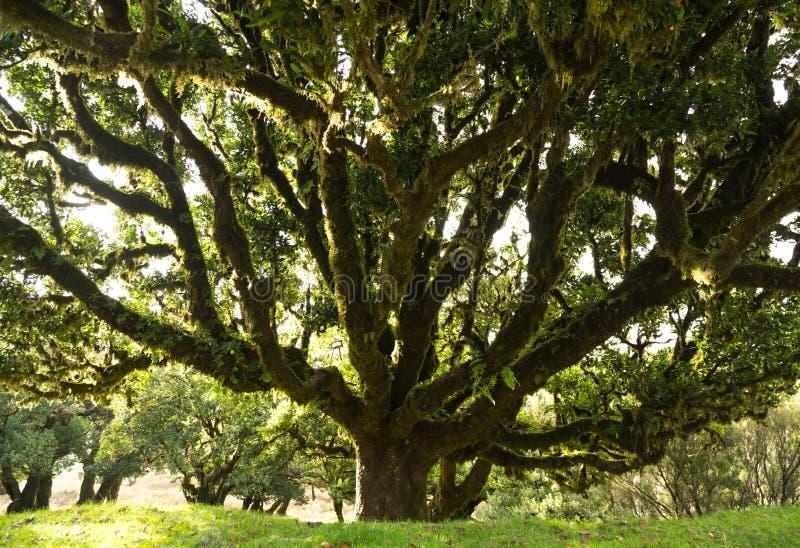 Laurel tree stock photo