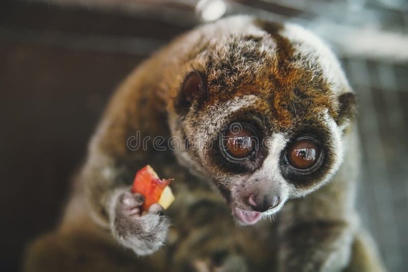 Laurie mała małpa z dużym round, ono przygląda się z niespodzianki emocją na jego twarzy obrazy royalty free