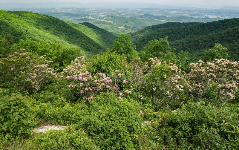 Laurier de montagne, Ridge Mountains bleu et vallée de Shenandoah - 2 photo libre de droits