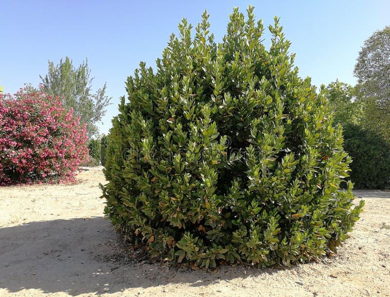 Laurier, oleander en bomen royalty-vrije stock afbeeldingen