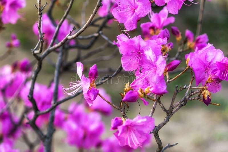 Laurier-rose ou azalée coréen image libre de droits