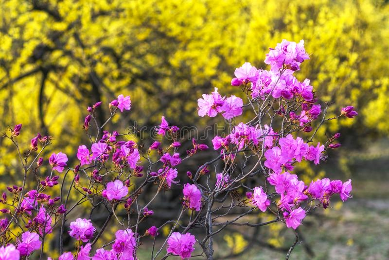 Laurier-rose ou azalée coréen photos stock