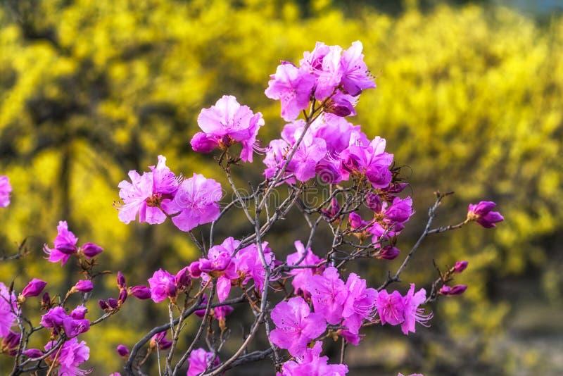 Laurier-rose ou azalée coréen photo libre de droits