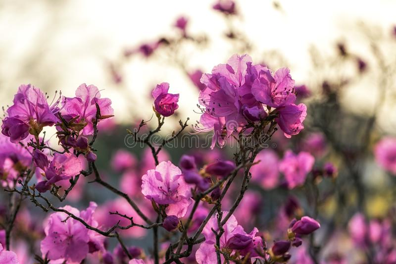 Laurier-rose ou azalée coréen photos libres de droits
