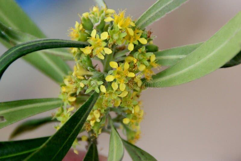 Laurina de Tristaniopsis, goma de água, kanooka foto de stock royalty free