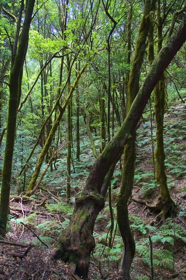 Laurisilva森林在拉戈梅拉 库存图片