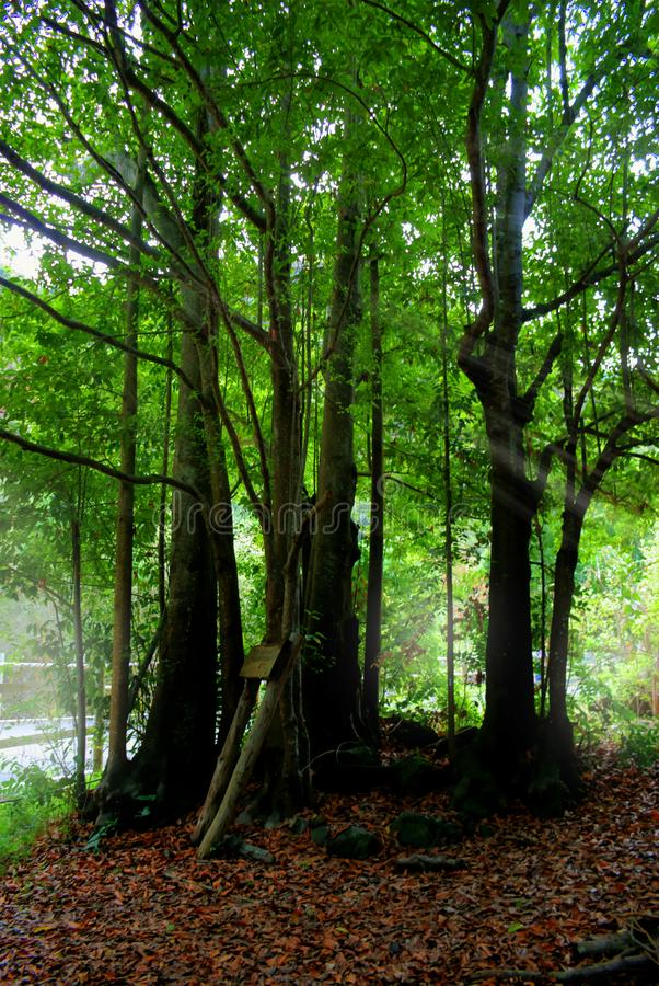 Laurisilva forest in Gran Canaria royalty free stock image