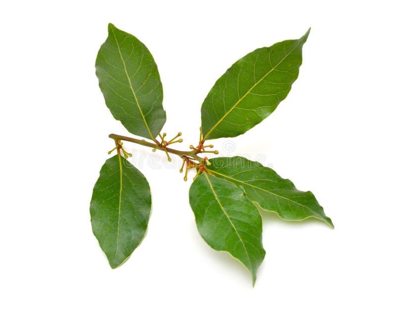 Laurus nobilis. Its common names include bay tree bay laurel, sweet bay, true laurel, Grecian laurel, or simply laurel stock photos
