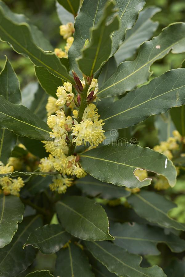 Laurus nobilis kwiaty fotografia stock