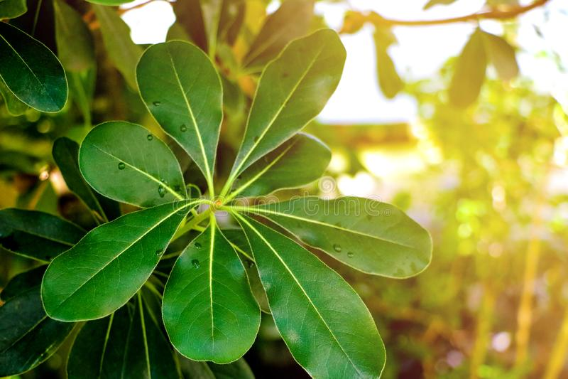 Laurus nobilis laurel tree green leaves on daylight shoot - Laurel background leaves tree. royalty free stock photography