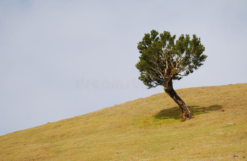 Laurus tree on madeira, portugal royalty free stock photography