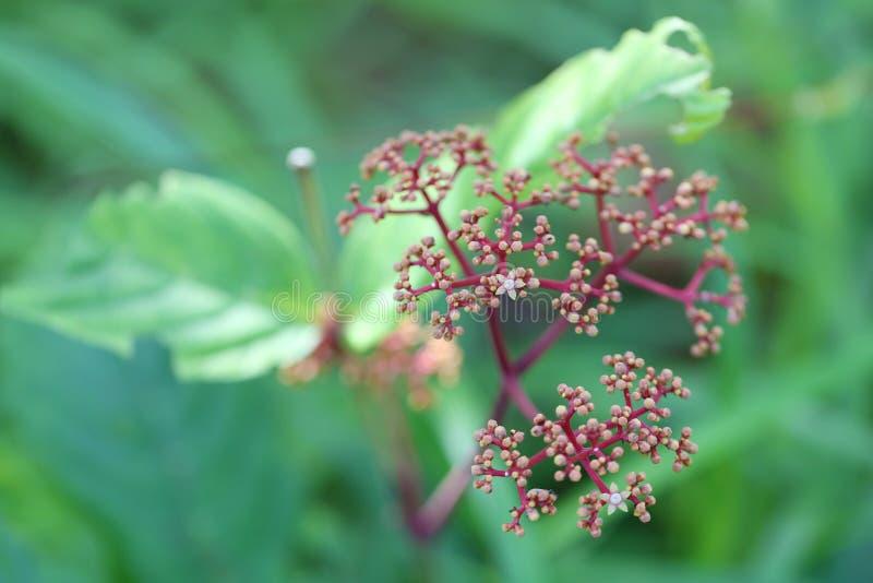 laurustinus kwiat arcydzięgiel mimo to kwiat w tropikalnym lesie deszczowym nie fotografia stock