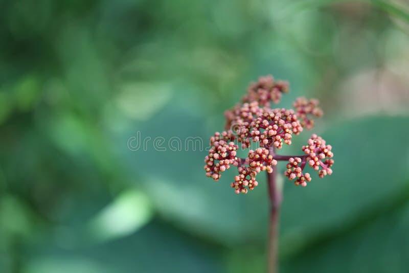 laurustinus kwiat arcydzięgiel mimo to kwiat w tropikalnym lesie deszczowym nie zdjęcia royalty free