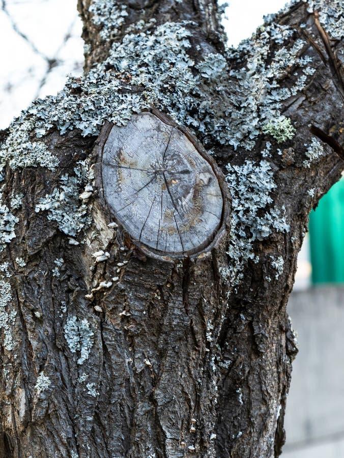 Lav- och filialsnitt på skället av ett fruktträd fotografering för bildbyråer
