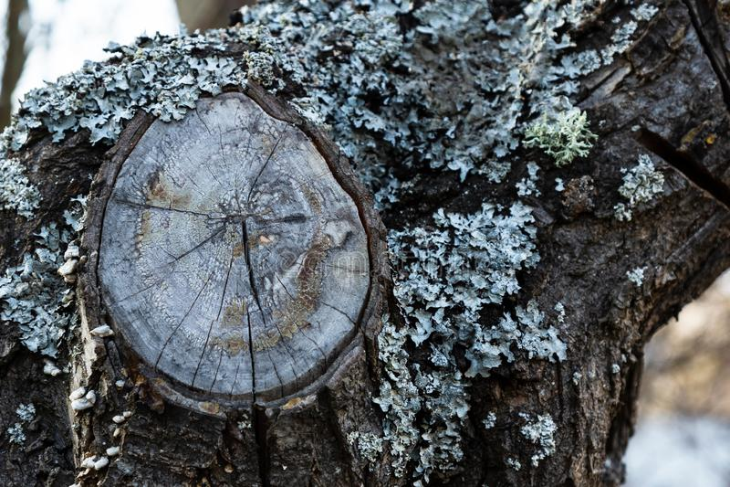 Lav- och filialsnitt på skället av ett fruktträd royaltyfria foton