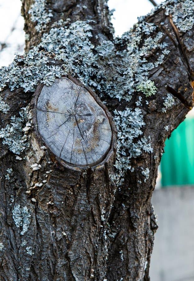 Lav- och filialsnitt på skället av ett fruktträd royaltyfri bild