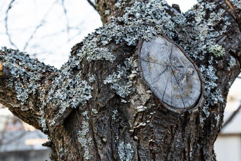 Lav- och filialsnitt på skället av fruktträdet arkivbild
