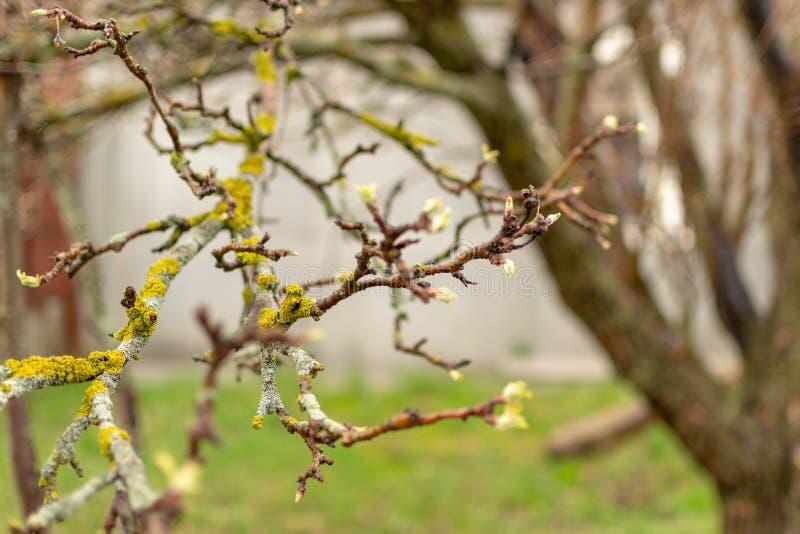 Lav på filialerna av ett äppleträd - Xanthoria parietina Fruktväxtsjukdom royaltyfria bilder