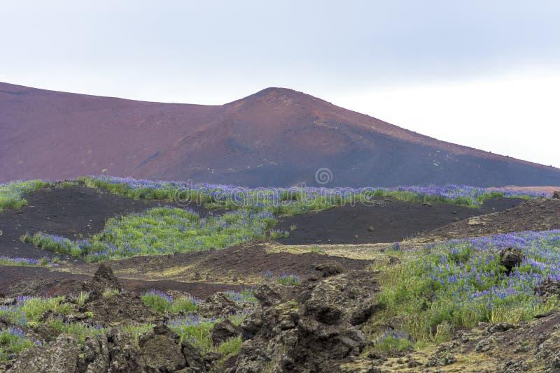 Lava fields, lupins, Iceland stock photos
