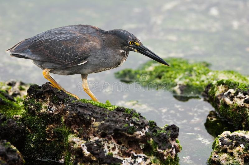 Lava heron. The bird goes on lava stones to the covered seaweed and tries to discover food stock image
