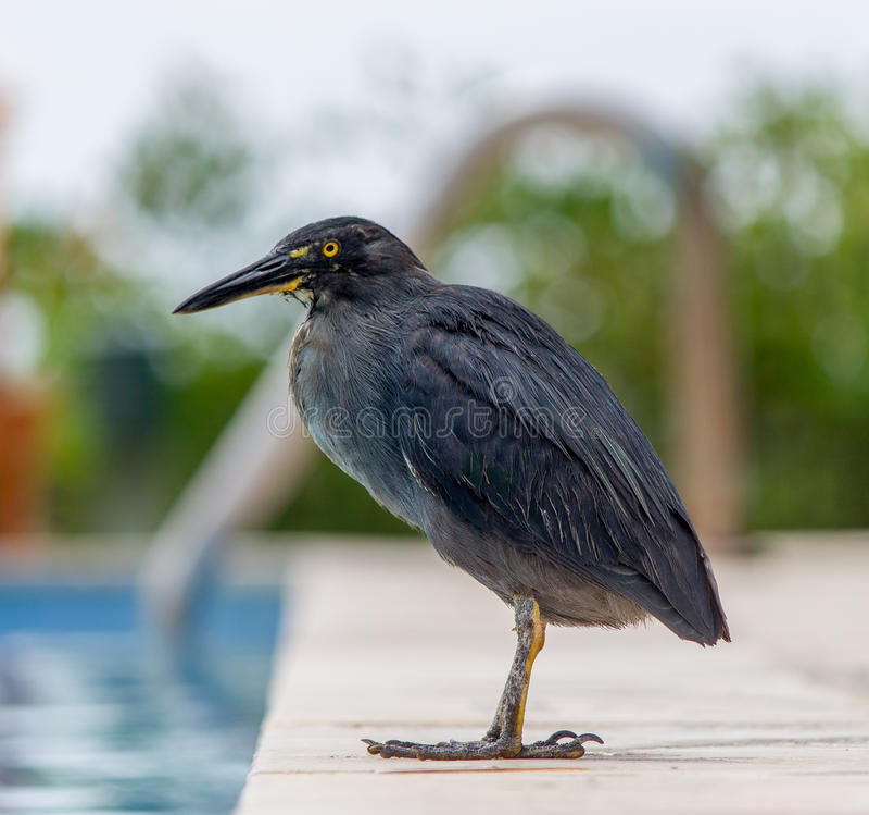 Lava Heron stock photo