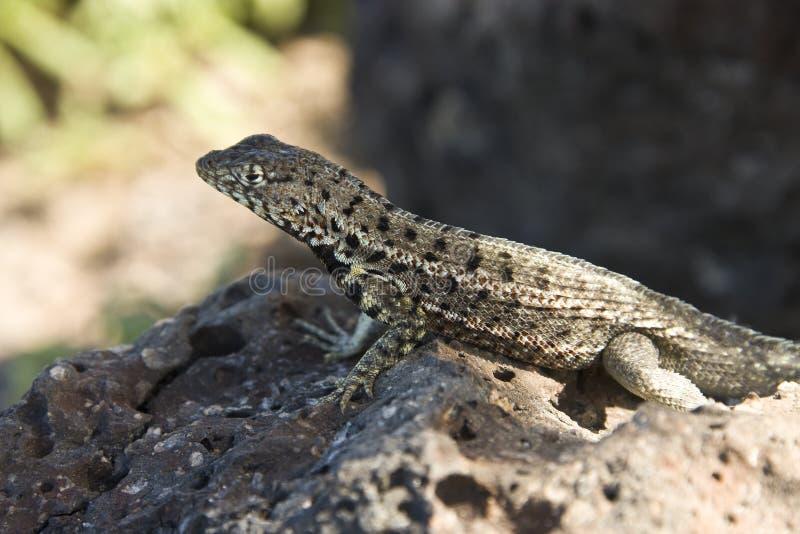 Lava Lizard - Galapagos Islands royalty free stock photos