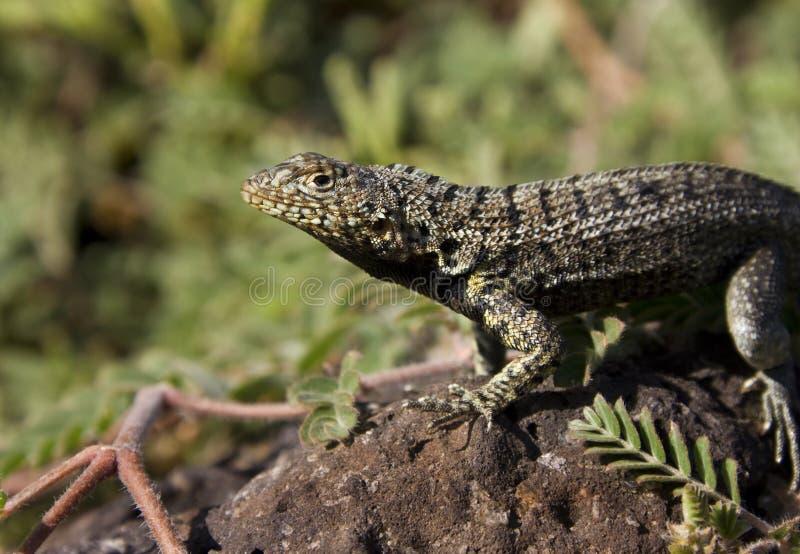Lava Lizard - Galapagos Islands stock photography